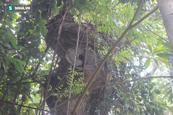 Chủ tịch xã Hòa Chính: Sẽ sớm đấu giá cây sưa từng được trả giá 100 tỷ ở Hà Nội