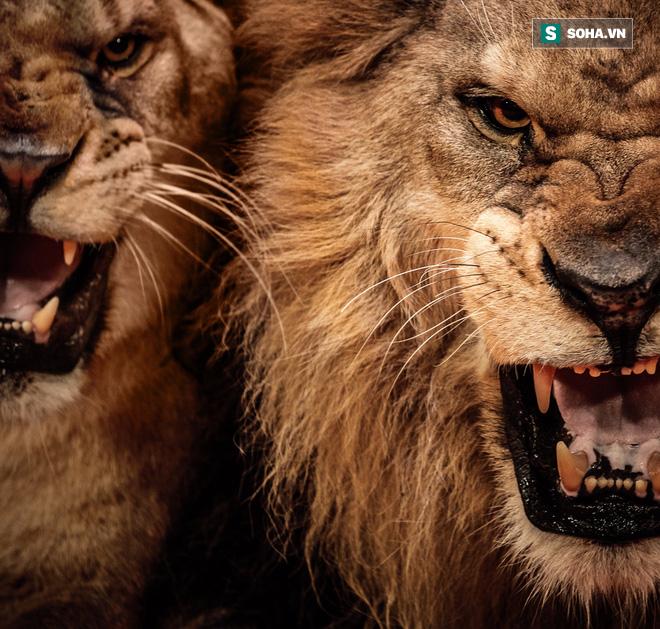 Khoa học đã giải mã được bí ẩn cuồng sát của cặp quái thú ăn thịt người Tsavo năm 1898 - Ảnh 1.