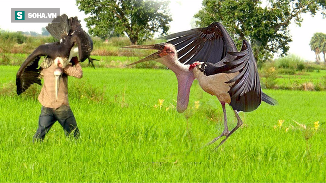 Bắt chim khổng lồ to hơn cả người bằng chiếc bẫy không thể đơn giản hơn - Ảnh 8.