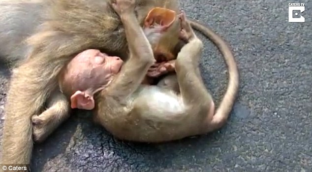 Tình mẫu tử: Khỉ con ôm chặt mẹ không rời sau vụ tai nạn thảm khốc - Ảnh 1.