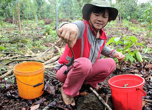 Dùng loại kiến rất hung hăng để săn bò cạp, kiếm tiền triệu mỗi ngày - Ảnh 3.