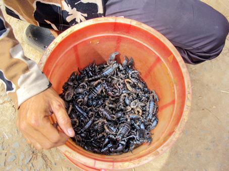 Dùng loại kiến rất hung hăng để săn bò cạp, kiếm tiền triệu mỗi ngày - Ảnh 1.