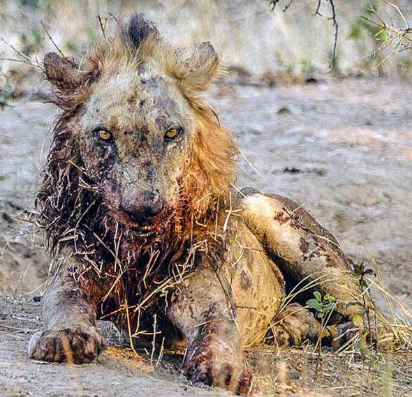 Trâu rừng hung hăng tẩn sư tử gần chết, máu me bê bết, trọng thương nằm sấp - Ảnh 2.