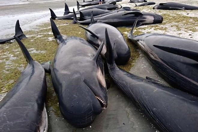 New Zealand lo xác cá voi phát nổ như bom - Ảnh 1.
