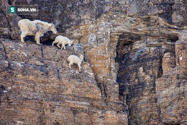 Bị tấn công bất ngờ, dê núi vẫn tẩn sư tử suýt chết - Ảnh 1.