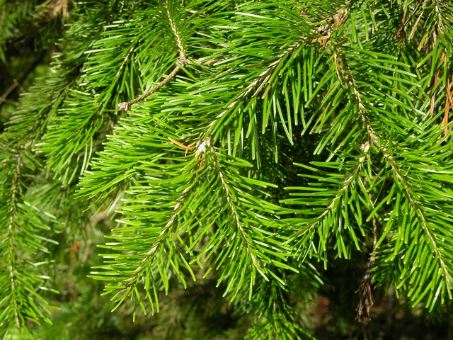 Phát hiện ra chất chữa ung thư và chống lão hóa trong một loại cây họ thông - Ảnh 1.