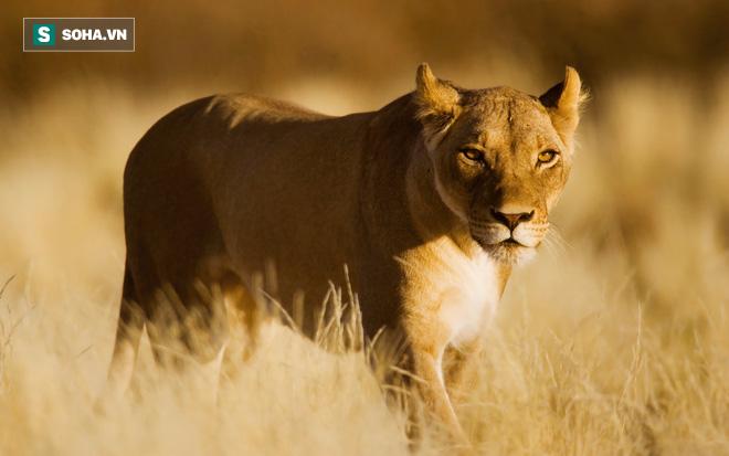 Rình rập như sát thủ, tấn công như vũ bão, sư tử vẫn hụt ăn vì nạn nhân... quá khỏe - Ảnh 1.