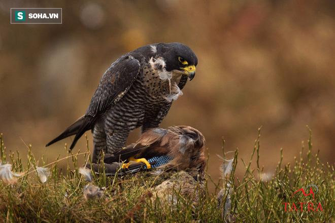 Trận không chiến dễ gây chóng mặt của loài động vật nhanh nhất thế giới - Ảnh 2.