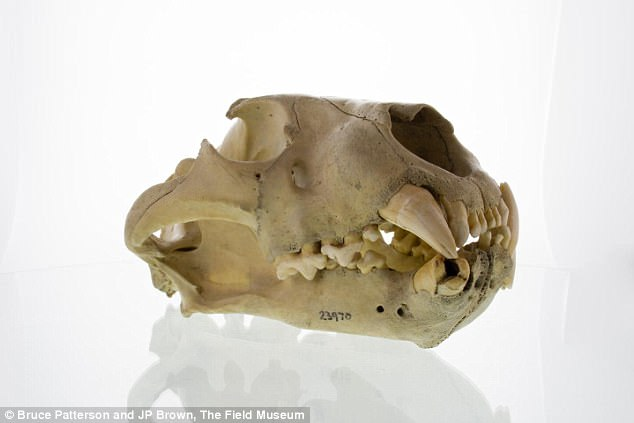 Khoa học đã giải mã được bí ẩn cuồng sát của cặp quái thú ăn thịt người Tsavo năm 1898 - Ảnh 3.
