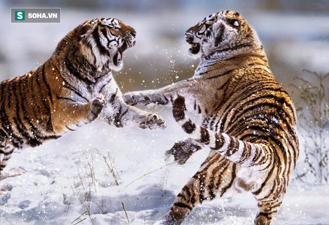 Hai con hổ hồn nhiên nhất thế giới: Vừa hỗn chiến ác liệt lại kề vai đi săn - Ảnh 2.