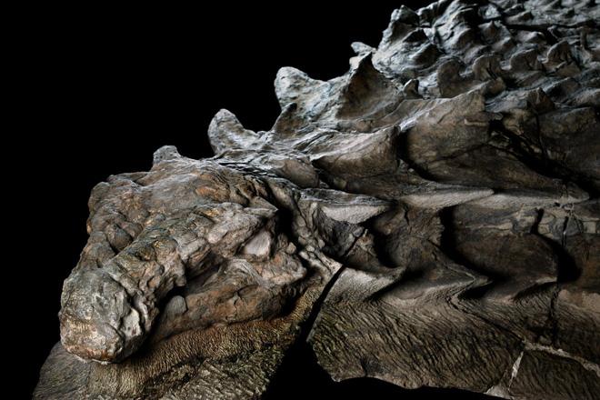Phát hiện một hóa thạch khủng long được bảo quản đặc biệt tốt ở Alberta, trông giống hệt như đang còn sống - Ảnh 1.