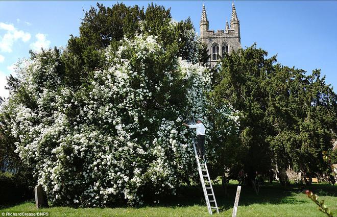 Chiêm ngưỡng cây hoa hồng trắng vĩ đại tồn tại suốt hơn trăm năm - Ảnh 1.