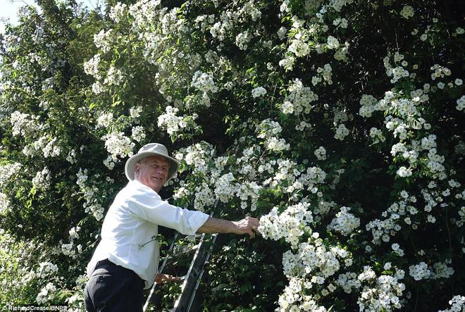 Chiêm ngưỡng cây hoa hồng trắng vĩ đại tồn tại suốt hơn trăm năm - Ảnh 2.