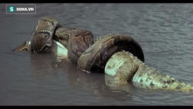 Lần hiếm hoi cá sấu đau đớn chịu thất bại dù đã cắn chặt con mồi trong miệng! 1