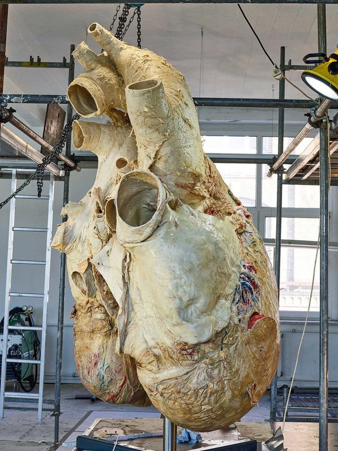 Đây là cách các nhà khoa học bảo quản quả tim cá voi nặng 200 kilogram - Ảnh 1.
