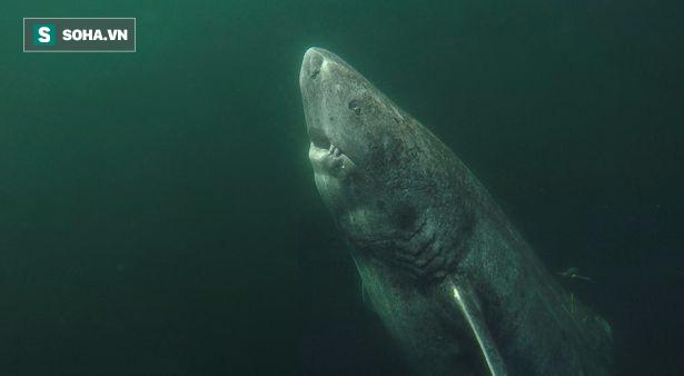 Tiết lộ bí ẩn trường thọ của loài cá mập 400 tuổi ở Greenland - Ảnh 1.