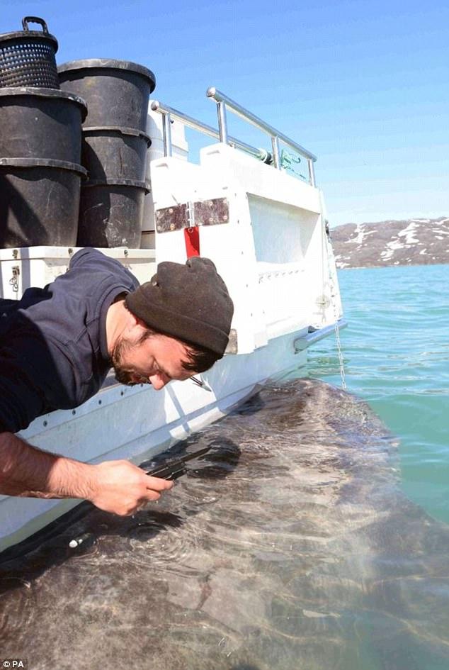 Tiết lộ bí ẩn trường thọ của loài cá mập 400 tuổi ở Greenland - Ảnh 2.