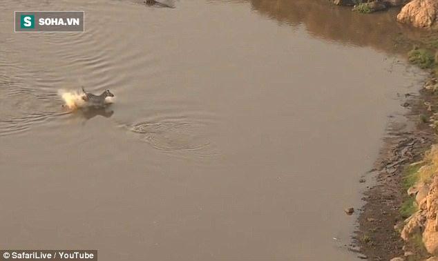 Đơn độc vượt sông, thoát hàm cá sấu, ngựa vằn vẫn chết vì bị phục kích - Ảnh 1.