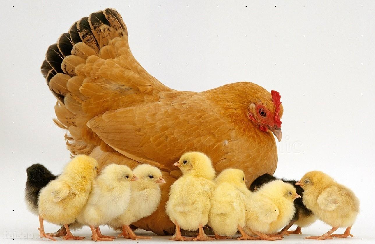 Vì sao gà đẻ gần như mỗi ngày mà mọi quả trứng đều nở ra cùng