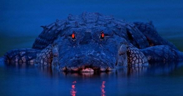 Tom Hai ngón - Con cá sấu khổng lồ, khát máu bậc nhất châu Mỹ - Ảnh 4.