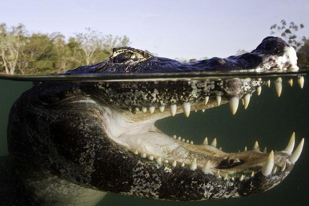 Không phải hàm răng hay lực cắn, đây mới là vũ khí nguy hiểm bậc nhất của cá sấu - Ảnh 1.