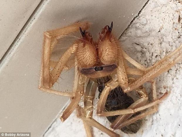Tìm thấy con nhện khổng lồ 10 chân biết săn mồi như bọ cạp - Ảnh 1.