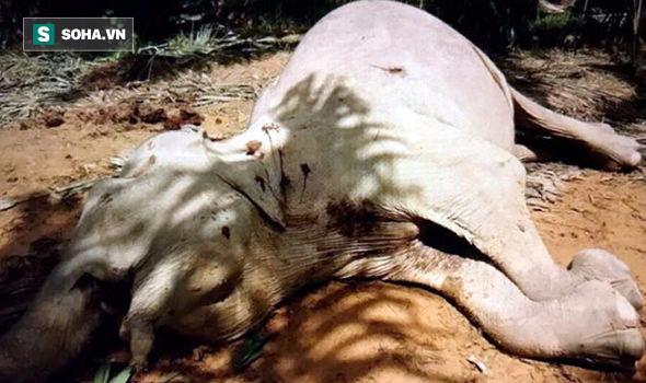 Cảnh tượng xúc động: Voi con khóc ròng, không ngừng lay voi mẹ bị trúng đạn - Ảnh 1.
