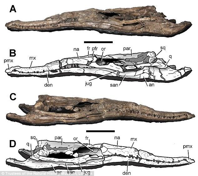 Quái vật đại dương kỷ Jura: Chỉ há miệng đã có thể nghiền nát rùa biển - Ảnh 2.