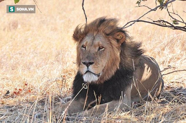 Xâm phạm lãnh thổ kẻ khác, sư tử mới lớn bị các bô lão dạy dỗ tới bến - Ảnh 1.