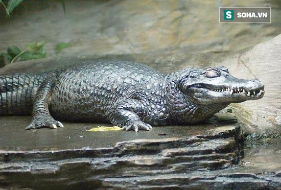 Quái thú đầm lầy giết hơn ngàn người và đây là loài đáng sợ nhất!