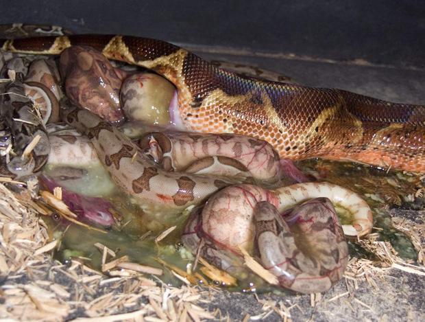 Chắc chắn bạn không biết: Quái vật Nam Mỹ - trăn Anaconda đẻ trứng hay đẻ con? - Ảnh 1.