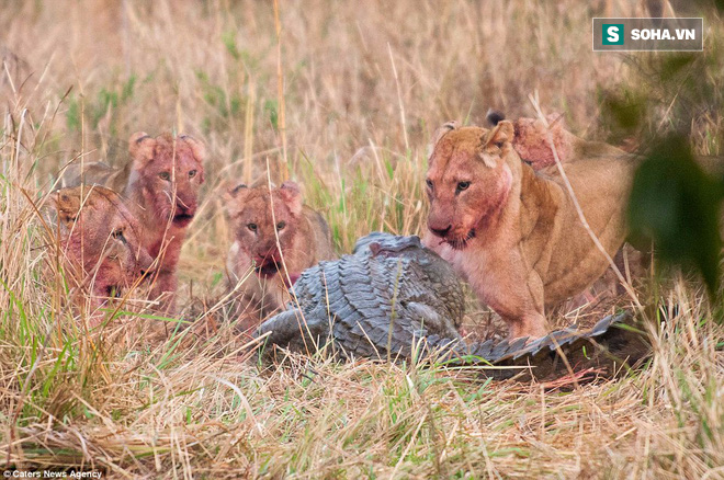 Cá sấu sông Nile ngông cuồng, có hành động điên rồ trước bầy sư tử châu Phi - Ảnh 2.