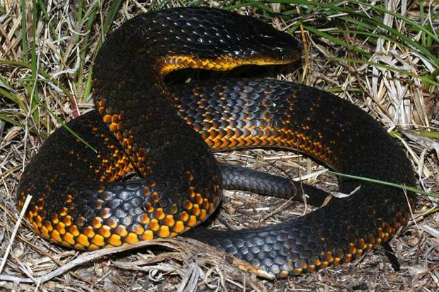 Loài rắn này sở hữu loại độc tố mạnh đến mức 10 triệu năm không cần tiến hóa