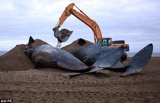 Lộ diện hung thủ bí ẩn khiến hàng loạt cá voi khổng lồ mắc cạn - Ảnh 2.