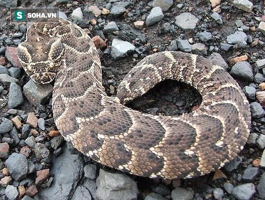 Gặp đối thủ nặng ký, 2 loài rắn độc nhất châu Phi buộc phải đánh nhau đến chết - Ảnh 2.