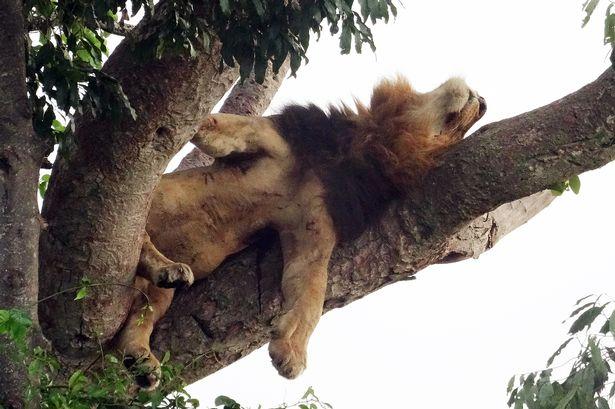 Hai anh em sư tử ngụy trang, nằm vắt vẻo trên cây cả ngày vì lý do không ai ngờ tới - Ảnh 2.