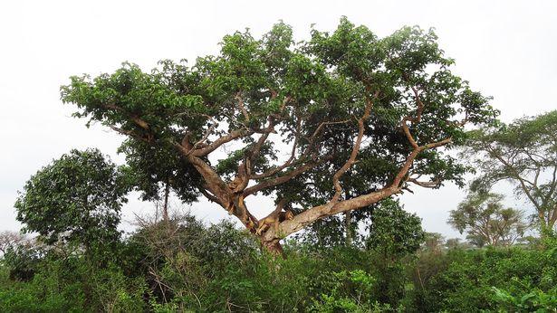 Hai anh em sư tử ngụy trang, nằm vắt vẻo trên cây cả ngày vì lý do không ai ngờ tới - Ảnh 4.