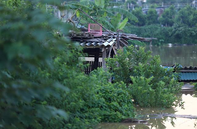 Người trồng quất méo mặt vì nước sông Hồng dâng cao - Ảnh 1.
