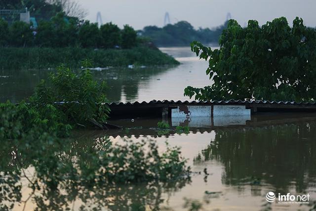 Người trồng quất méo mặt vì nước sông Hồng dâng cao - Ảnh 2.