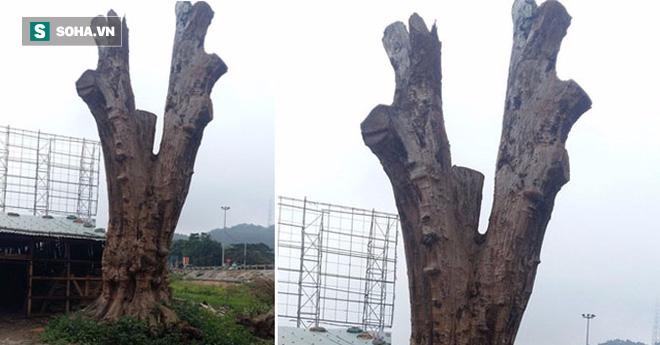 Gỗ Nu - báu vật đắt giá nhất trong các loại gỗ, đại gia sẵn sàng chi cả tỷ đô để mua về - Ảnh 1.