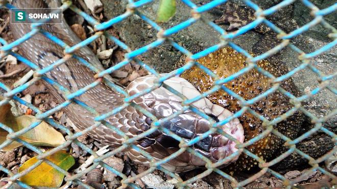 Việt Nam: Bẫy rắn hổ mang bằng cóc độc và kết quả không ngờ! - Ảnh 2.