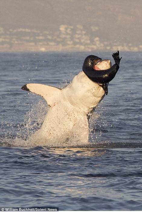 Bị dồn vào đường cùng, hải cẩu cắn xé ngấu nghiến cá mập để giành lại sự sống - Ảnh 5.
