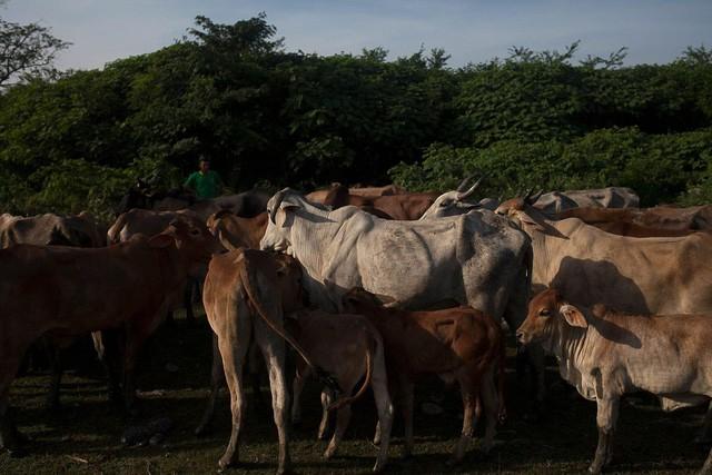 Những cánh đồng hoang hóa tiêu điều vì khủng hoảng kinh tế ở Venezuela  - Ảnh 1.
