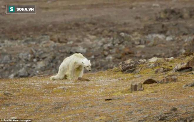 Cảnh tượng ám ảnh: Gấu Bắc Cực gầy trơ xương trên hòn đảo... không băng - Ảnh 1.