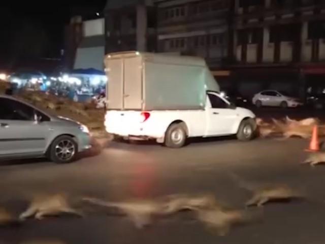 Video: Hàng trăm con khỉ bất ngờ chạy sang đường náo loạn cả phố - Ảnh 1.