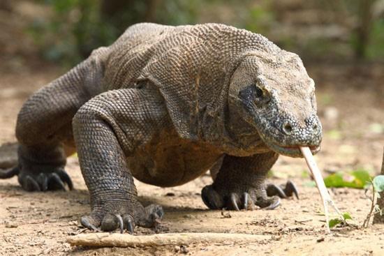 Rồng Komodo, loài thằn lằn nguy hiểm nhất còn tồn tại trên Trái Đất.