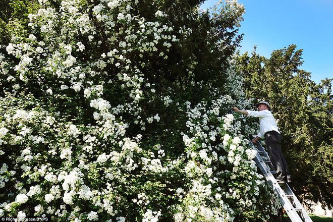 Chiêm ngưỡng cây hoa hồng trắng vĩ đại tồn tại suốt hơn trăm năm - Ảnh 3.