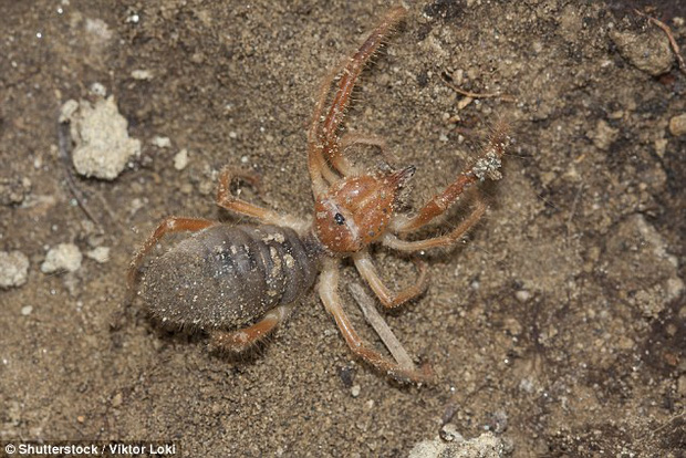 Tìm thấy con nhện khổng lồ 10 chân biết săn mồi như bọ cạp - Ảnh 2.