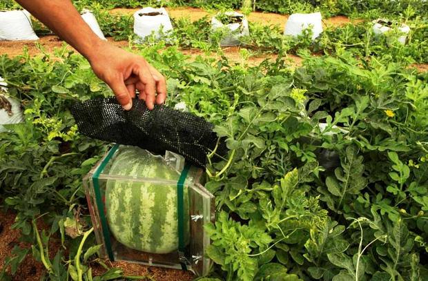 Đây mới là lý do thật sự khiến người Nhật Bản trồng dưa hấu vuông - Ảnh 2.