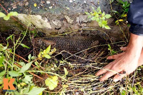 Việt Nam: Bẫy rắn hổ mang bằng cóc độc và kết quả không ngờ! - Ảnh 4.